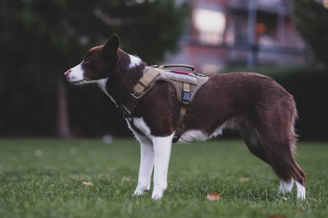 """""""FIRE TANKER"""" K9 HARNESS REVIEW BY THE DOG GEAR REVIEW"""